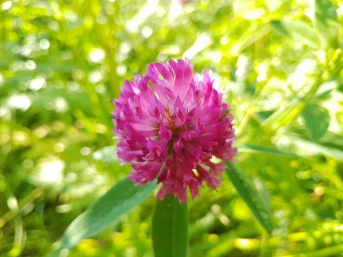 raudona gėlė,gėlė,makro,Rusija,moscow,parkas,maža gėlė,vasara,šviesus,gėlė Rusijoje