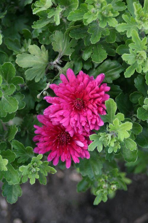 raudona gėlė,dacha,žydėti,vasara,raudona,gėlės,gamta,sodo gėlė,sodas,augalas,vasaros gėlės,gražus,Iš arti,makro,gražios gėlės,graži gėlė,didžiulė gėlė,gėlė,žalias