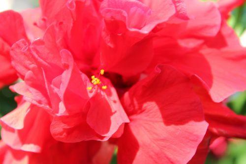 raudona & nbsp, gėlė, stiebai, garbanoti gėlė, garbanotas, gėlė, žiedlapiai, lapai, gėlės, fonas, raudona gėlė 4