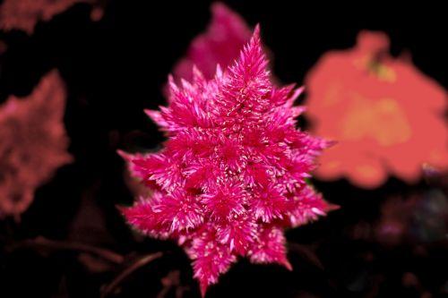 gėlė, raudona, plunksninė, flora, dekoratyvinis, purus, abstraktus, fonas, graži, minkštas, gamta, raudona purus gėlė