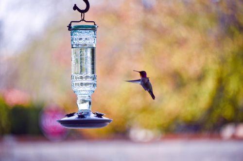 kolibris, raudona, anna, galva, raudona & nbsp, galva, skraidantis, bangavimas, raudona galva kolibutis