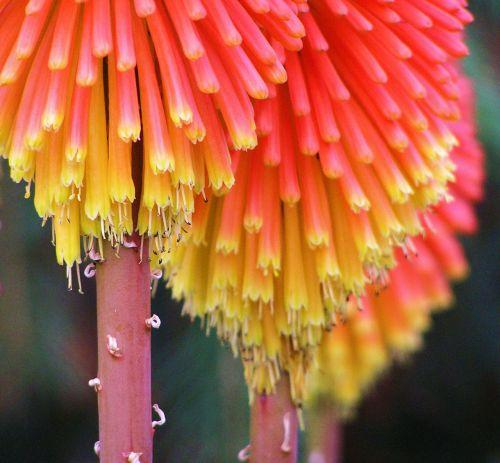 augalas, raudona, karštas, pokeris, oranžinė, ir geltona, spalva, raudonas karštas pokeris