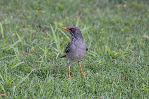 raudonojo kojų pienelis,turdus plumbeus ardosiaceus,paukštis,plunksnos rasės,gyvūnai,žalia žolė,žalias fonas,gamta,žaliųjų atspalvių