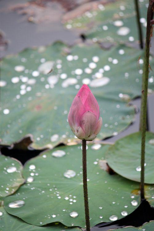 raudona & nbsp, lotus & nbsp, gėlė & nbsp, bud & nbsp, lapai, tvenkinys, Singapūras, tropiniai & nbsp, lotus, budas, raudonas lotoso gėlių pumpuras ir lapai