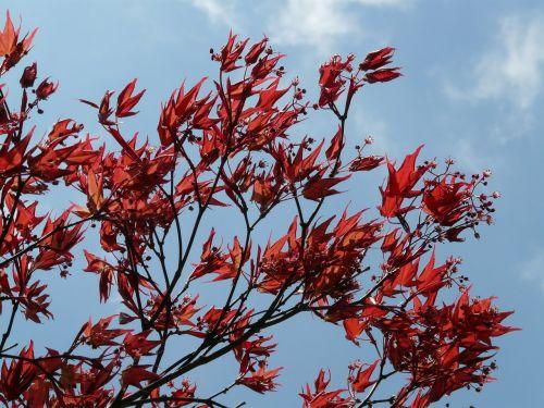 raudonas klevas,dekoratyvinis augalas,ventiliatorius klevas,klevas,medis,krūmas,lapai,filialas,raudona,augalas