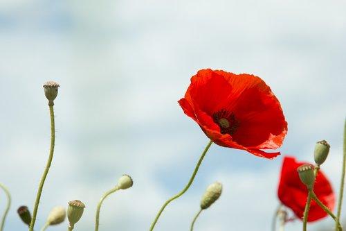 raudona aguonos, laukinių, laukas, laukinių gėlių, delikatesu, raudonos gėlės, laukinių srityje, pobūdį, aguonos gėlė, spalvos, gėlė, spalvinga, aguona, Grožio, pavasaris, laukinių gėlių, raudona, vasara, dangus, gyvenimas, gėlės, gili raudona, kraštovaizdis, augalai
