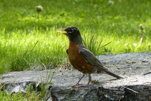 raudona robin,paukštis,gamta,gyvūnas,laukinė gamta,raudona juosta,plunksnos,lauke,pavasaris,raudona,laukiniai,sezonas,kelmas,pieva