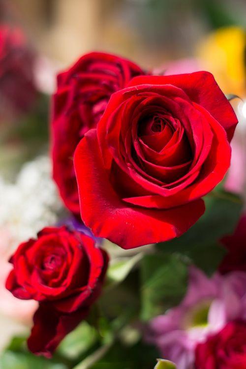 Raudona Roze, Ro, Gėlė, Gamta