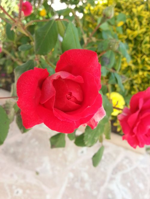 Raudona Roze, Raudona, Sodas, Raudona Gėlė, Augalas