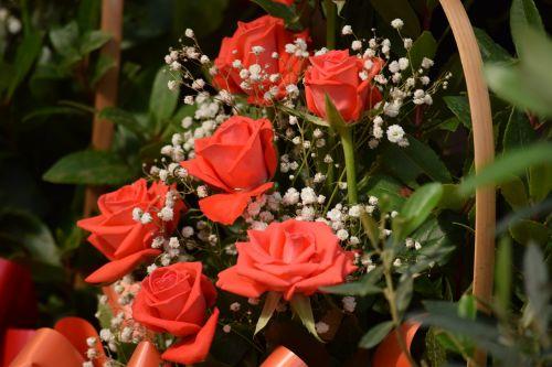 Raudona roze,gėlės,rožė,laukiniai,milteliai,rožinės gėlės,gamta,augalas,augalai,žalia gėlės,raudonos gėlės,baltos gėlės,geltonos gėlės