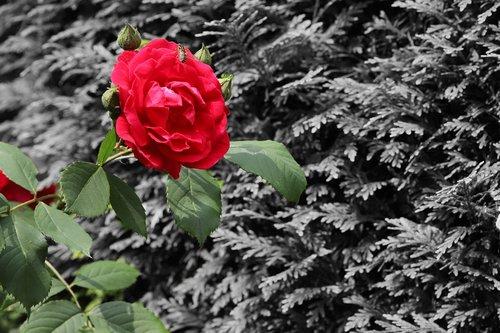Raudona Roze,  Rožės,  Raudona,  Žydi,  Pobūdį,  Sodas,  Raudona Gėlė,  Romantika