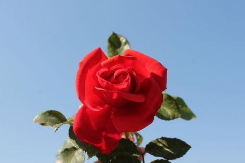 Raudona Roze, Mėlynas, Raudona, Gėlė, Rosa, Sodas, Grožis, Makro, Raudona, Žiedlapiai