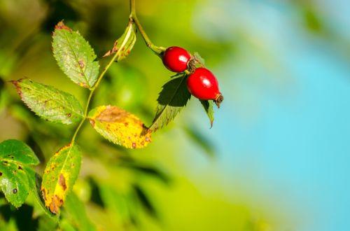 rožė & nbsp, hip, rožė, hip, gyvatvorys, ruduo, Iš arti, raudona, lapai, erškėtis, apsidraudimas, sezonas, sveikas, gerumas, kritimas, augalas, laukiniai, gamta, maistas, duoti, sirupas, raudonos rožės klubų
