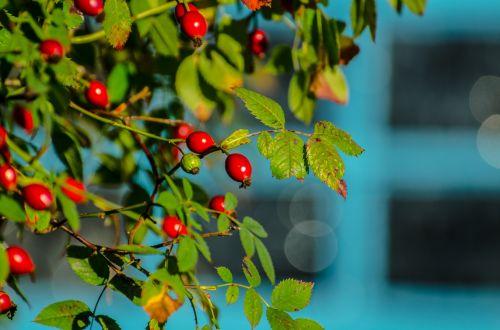 rožė & nbsp, hip, rožė, hip, gyvatvorys, ruduo, raudona, lapai, erškėtis, apsidraudimas, sezonas, sveikas, gerumas, kritimas, augalas, laukiniai, gamta, maistas, duoti, sirupas, raudonos rožės klubų