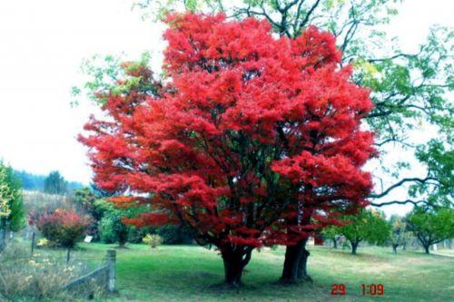 medis, raudona & nbsp, medis, parkas, šviesus, Viktorija, australia, raudonas medis