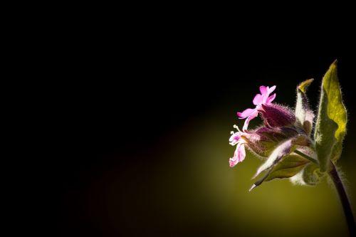 raudona waldnelke,silene dioica,stovykla,raudona laimikis,raudonasis melandriumas,dienos raudona kampanija,Viešpaties dievo kraujas,silene,gvazdikų šeima,aštraus gėlė,augalas,gamta,gėlės,rožinis,smailas gėlių rožinis,laukinė gėlė,Uždaryti
