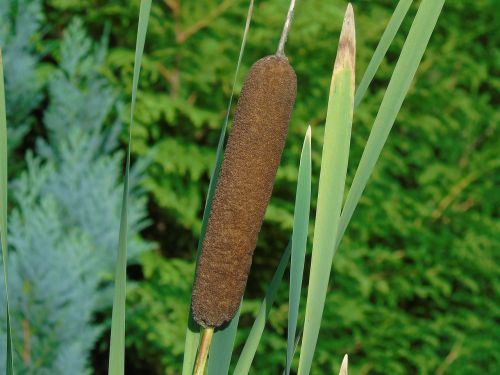 nendrė,Cattail,vandens augalas,gamta