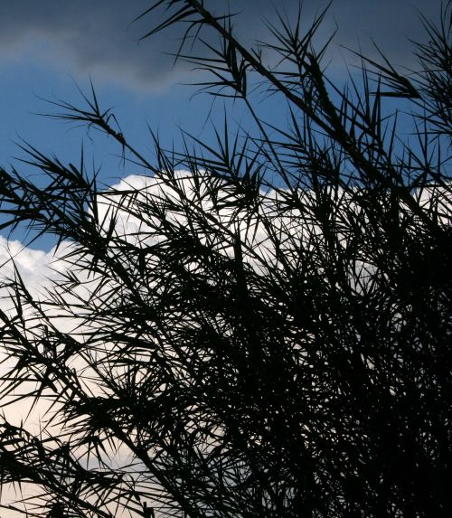 siluetas, nendrės, lapai, dangus, mėlynas, debesis, nendrės nuo dangaus