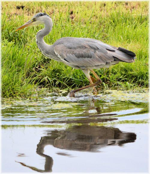 heronas, paukštis, vanduo, gyvūnas, gamta, pavasaris, holland, žuvis, heronas 1