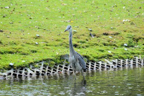 heronas, paukštis, vandens paukščiai, gamta, žuvis, maistas, polderis, griovys, heronas