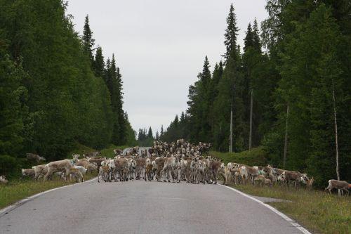 šiaurės elniai,kelias,arkliai