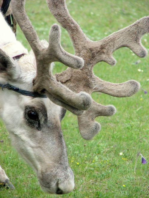 šiaurės elniai,antlers,ragai,gyvūnai,pieva,Sasanka,Mongolija