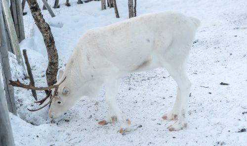 šiaurės elniai,balta,antlers,žiema,elnias,sniegas,gyvūnas