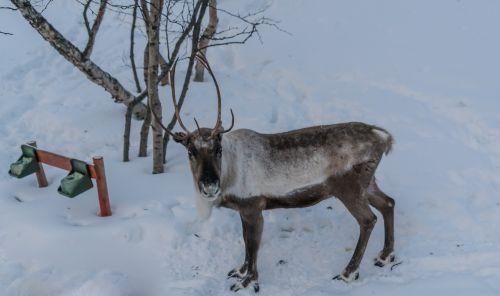 šiaurės elniai,ruda,antlers,žiema,elnias,sniegas,gyvūnas
