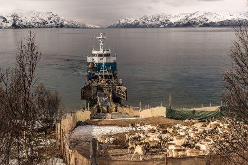 šiaurės elniai,gabenimas,šiaurės elnių judėjimas,šiaurės elnių veisimas,samer,finnmark,fjordas,jūros scena,valtis,laivai