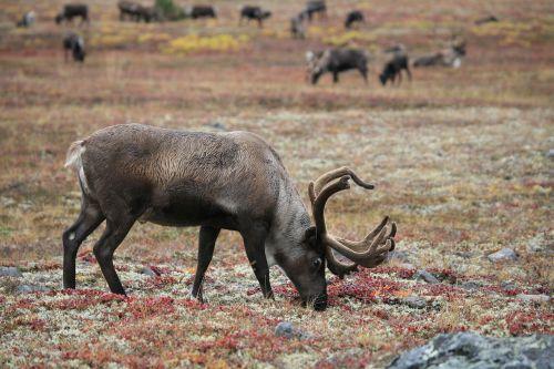 šiaurės elniai,bandas,ganykla,Afrikos ragas,kirvis,gyvūnas,kalakutienos,ruduo,samanos