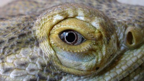 ropliai, ropliai, barzdotas, drakonas, drakonai, driežas, driežai, krokodilas, krokodilai, aligatorius, aligatoriai, iguana, iguanas, chameleonas, Chameleonai, ropliai akis