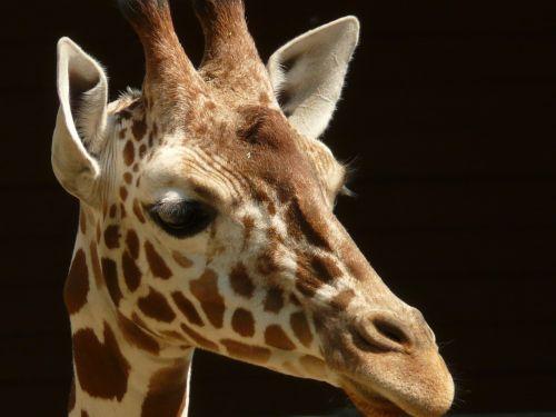 retikuliuotas žirafas,žirafa,afrika,akis,modelis,ausys,ragai,laukinis gyvūnas,žinduolis,gyvūnas