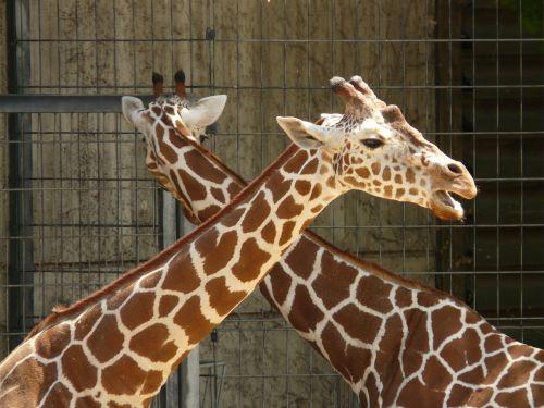 retikuliuotas žirafas,gyvūnas,didelis,zoologijos sodas,afrika,žirafa,modelis,pora,žinduolis,kaklas,galva,ilgai