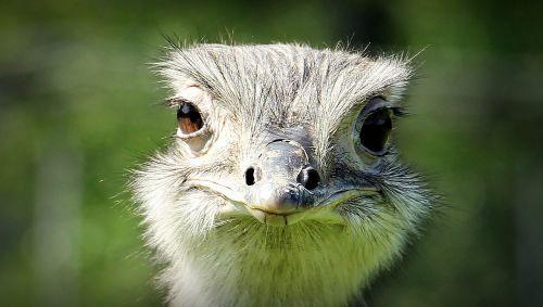 paukštis,puokštė,galva,paukštis,didelis paukštis,gyvūnas,gamta,laukinės gamtos fotografija,plunksna,naminiai paukščiai,gyvūnų pasaulis,poilsis,neskraidantis paukštis,strutis,fauna,šypsena,šypsosi nandu,šypsosi stručio,vaizdas,akis į akį