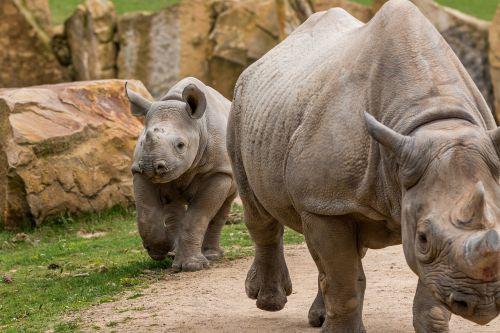 Rhino,Rhino jauni,afrika,pachyderm,didelis žaidimas,raganos