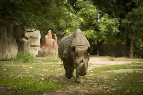 Rhino,Rhino zoologijos sode,Rhino eina link kameros