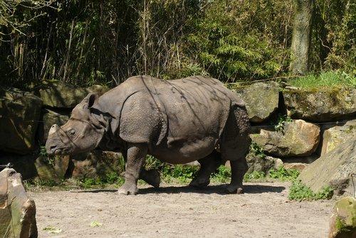 Rhino, Zoo, bijdorp, Roterdamas, Indijos Rhino