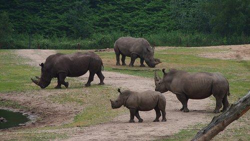 Rhino, Rhino jauna, stepių, Big Game, raganosis, Rhino kūdikis, Nacionalinis parkas, Safari, kraštovaizdis, Gyvūnas gruboskóre