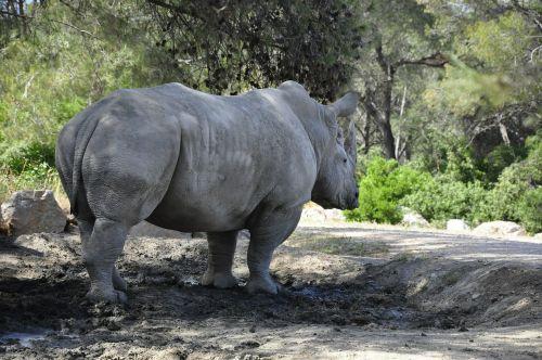 Rhino,juodas raganas,didelis žaidimas,žinduolis,zoologijos sodas,afrika,safari,sąmoningai,gyvūnas,dykuma,purvas,gyvūnai,gamta,gamtos rezervatas,laukinės gamtos fotografija