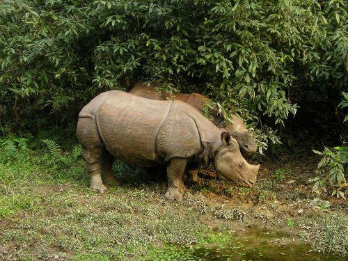 Rhino,Nepalas,Nacionalinis parkas,chitwan