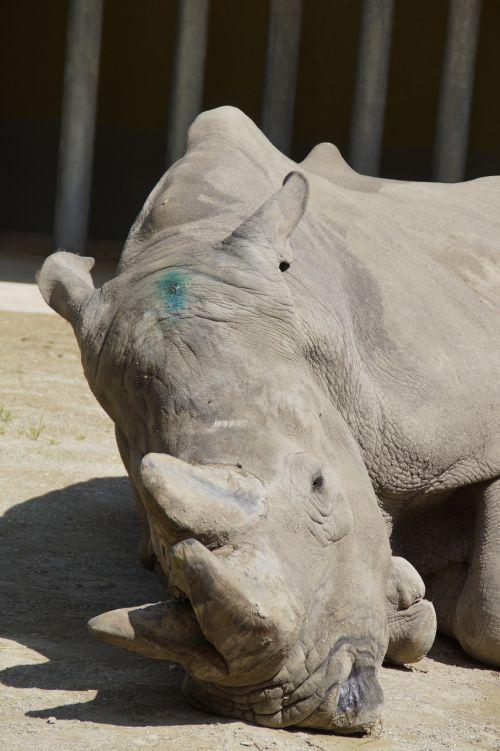 Rhino,rūpestis,ragai,pachyderm,zoologijos sodas,zoologijos sodas gyvūnas,galva,priekinė