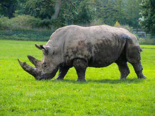 Rhino,gyvūnai,laukinio gyvenimo parkas,raganos,laukinis gyvūnas,gamtos parkas
