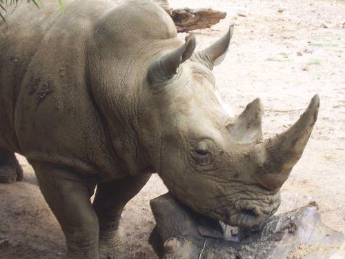 Rhino, zoologijos sodas, gyvūnai, afrika, nykstantis, Rhino gyvūnas
