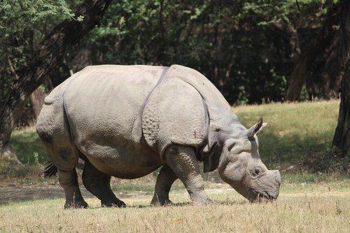 raganosis, Zoo, gyvūnas, Gyvūnijos, laukinių, pobūdį, žinduolis, didelis, Safari, barbariška, žolė, rezervas, parkas, žolėdis, pavojus, stiprus, ragas, didelis, didelis, išsaugojimas, influencer