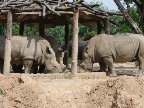 rhinos,zoologijos sodas,valgyti,gyvūnai,Laukiniai gyvūnai,pavojingi gyvūnai,fauna