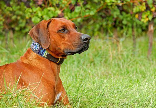 Rodezijos ridžbekas,šuo,grynaveislis šuo,didelis,kalė,gražus,žavinga,Gerai,draugas,geriausias draugas,yra,dėmesio,budrus,žalias,žolė,gyvūnas,medžioklės šuo,šeimos šuo,apsaugos šuo,atidus šuo,koncentracija,žiūrėti,vaizdas,kailis,ruda,blizgantis,akys,ūsai,šuns antkaklis,šiuolaikiška,spalvinga,laukinės gamtos fotografija,laisvalaikis,lauke,vynuogynas,kaimas,gamta