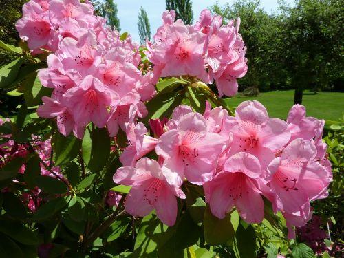 Rododendras,rožinis,gėlė,graži gėlė,žiedas,gėlės,rožinė gėlė,kiemas,žydėti,gražus,žydi,spalva,Iš arti,krūmas,ryskios spalvos,žiedai,augalas