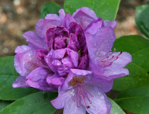 Rododendras,gėlė,atviras,violetinė,žydėti,rasa,graži,daugiamečiai augalai,žydėjimas,augalas,krūmas,lietus,vanduo