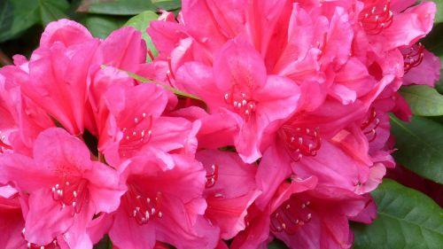 Rododendras,gamta,gėlės,džiaugsmas,spalva,sodas,rožinis,augalas,Uždaryti,pavasaris,vasara,gražus,fonas