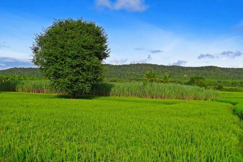 ryžiai,paddy,auginimas,Žemdirbystė,laukas,ūkis,kaimas,asian,kaimas,žemės ūkio paskirties žemė,grūdai,ūkininkavimas,atogrąžų,žemės ūkio,kraštovaizdis,vaizdingas,kalvos,dangus,mėlynas,Hubli-Siris kelias,mundgod,Karnataka,Indija
